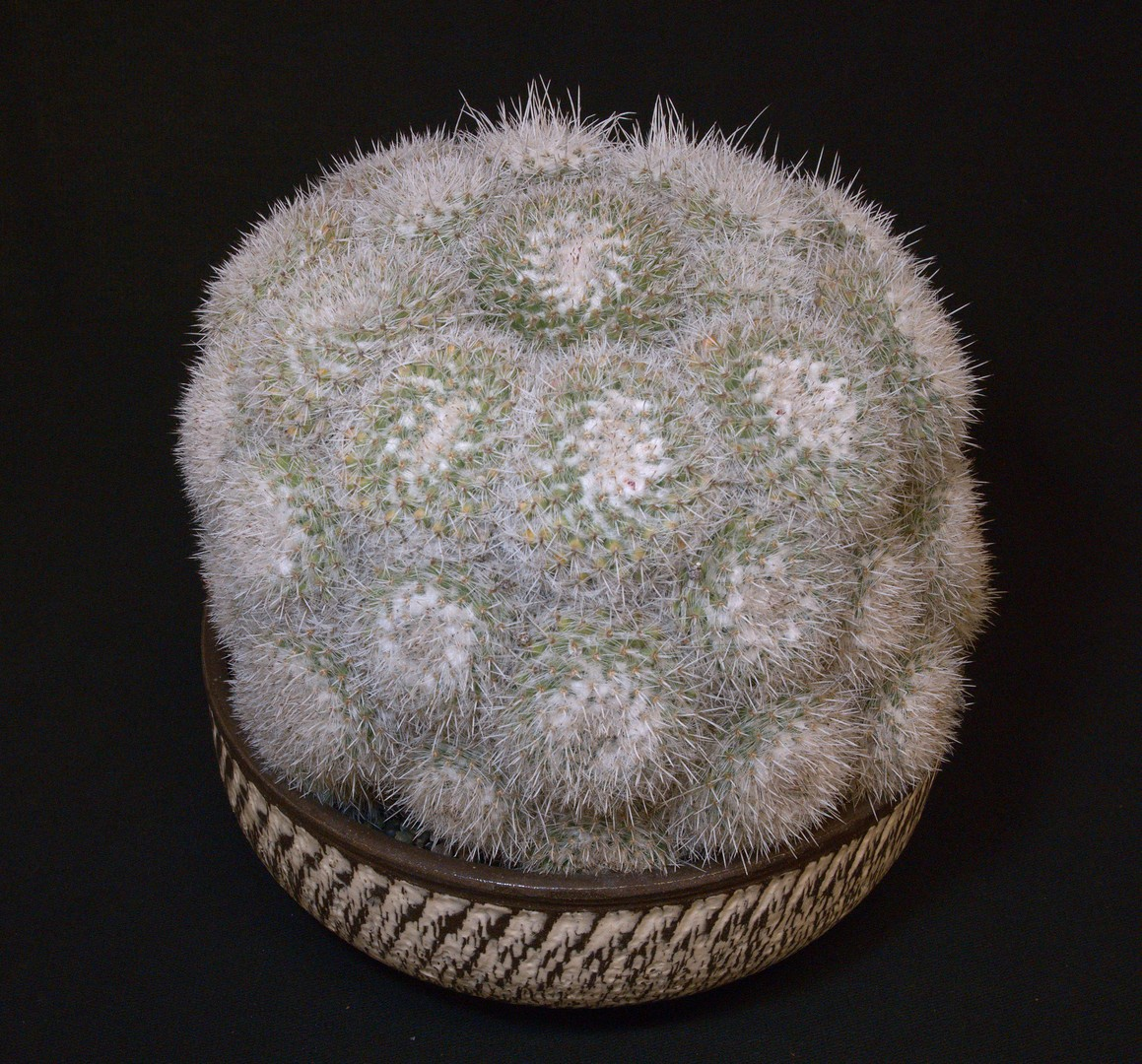SCCSS 2020 January - Winner Open Cactus - Jim Gardner - Mammillaria geminispina