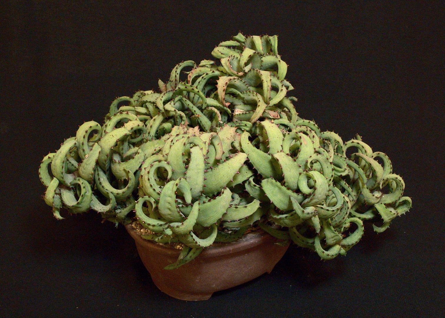 SCCSS 2020 January - Winner Open Succulent - Gary Duke - Aloe castilloniae