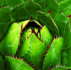 Agave montana