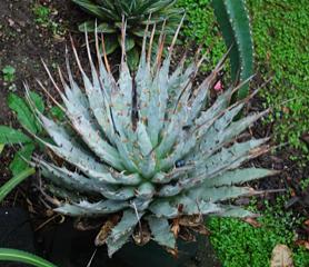 Agave utahensis ebrospina