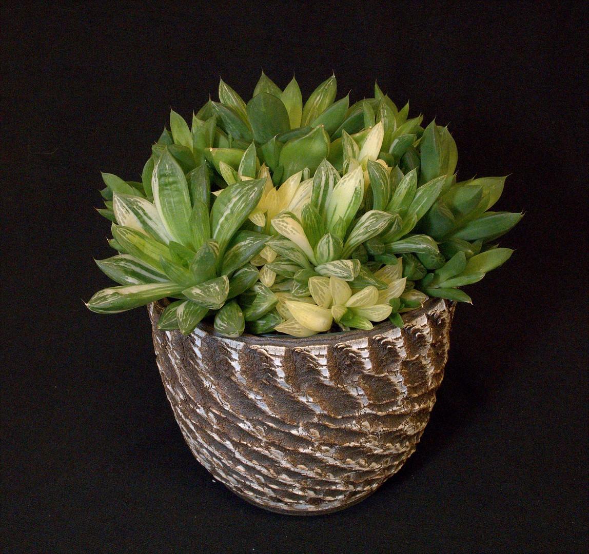 SCCSS 2020 February - Winner Intermediate Succulent - Coni Nettles - Haworthia cymbiformis
