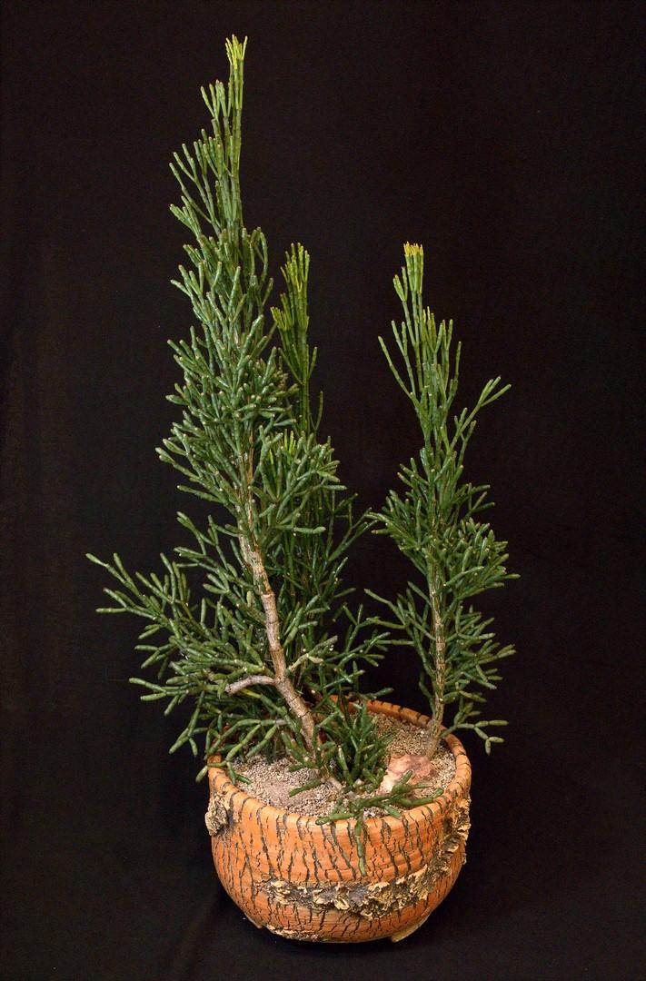SCCSS 2020 February - Winner Open Cactus - William Wilk - Hatiora bambusoides