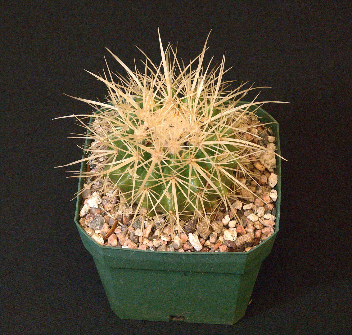 SCCSS 2020 March - Winner Intermediate Cactus - Bernard Johnson - Echinocactus grusonii 'Golden Barrel'