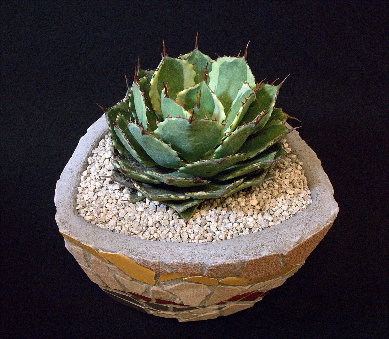 SCCSS 2020 March - Winner Novice Succulent - Terri Straub - Agave potatorum 'Kichiokan' marginata