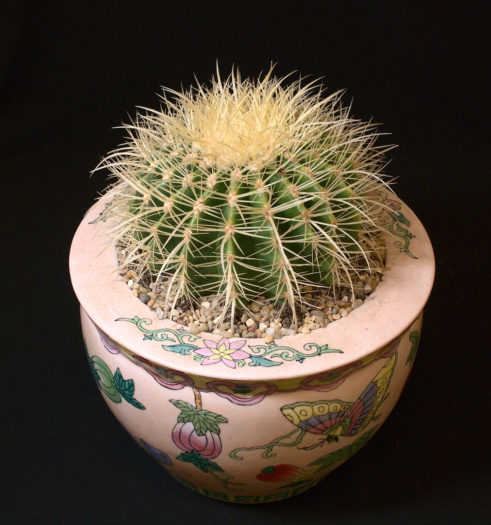 SCCSS 2020 March - Winner Open Cactus - Phyllis DeCrescenzo - Echinocactus grusonii 'Golden Barrel'