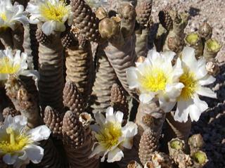 Tephrocactus articulatus var. diadematus