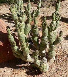 Tephrocactus articulatus