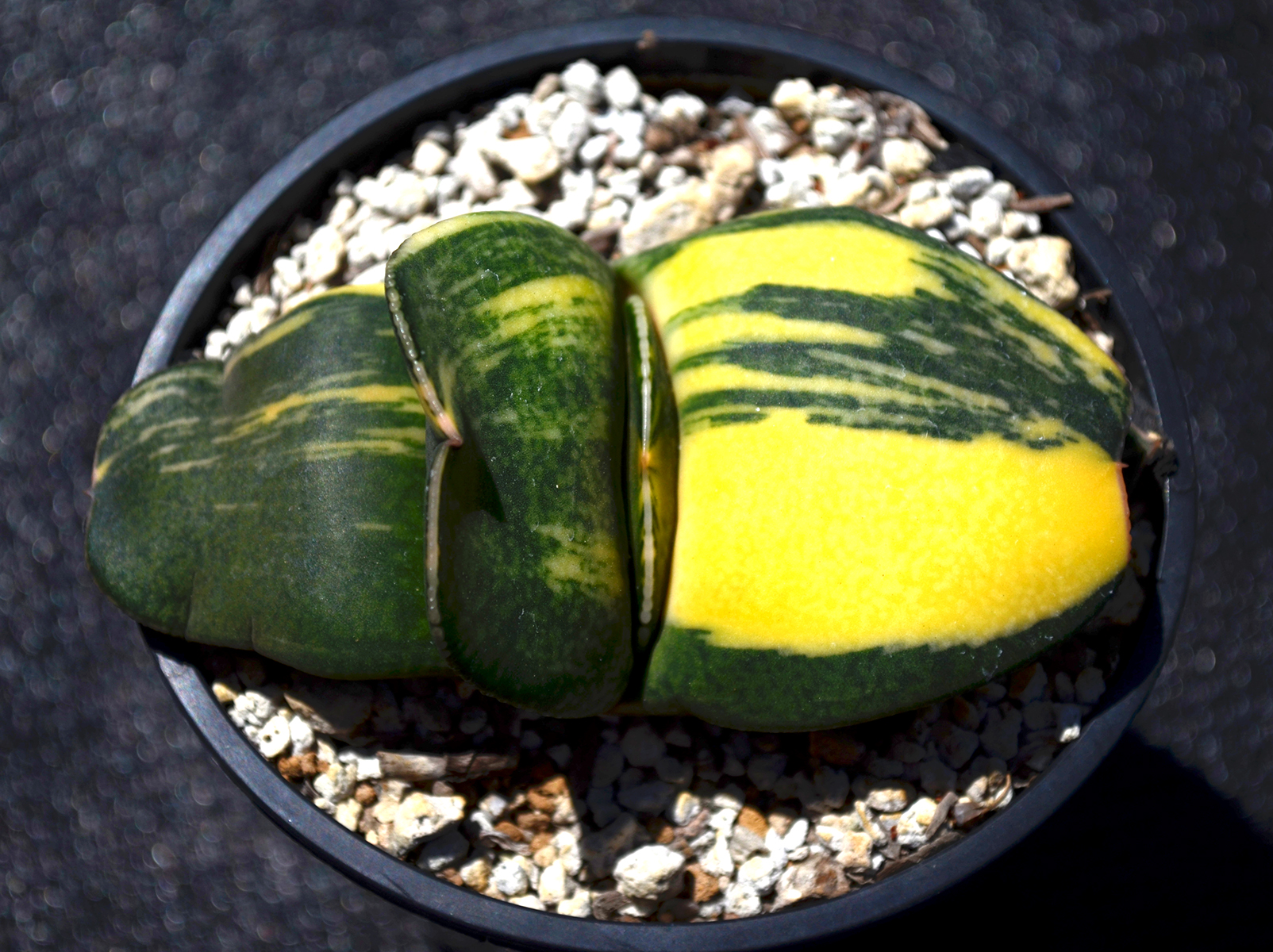 Gasteria Yellow Mountain (002)