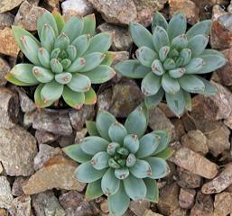 Pachyveria 'Glauca' (Little Jewel)