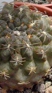 Eriosyce esmeraldana (=Neoporteria esmeraldana)