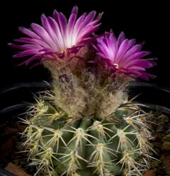 Eriosyce islayensis (=Islaya divaricatiflora)