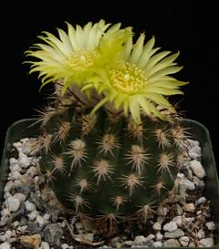 Eriosyce islayensis (=Islaya islayensis)