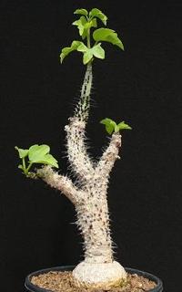 Adenia aculeata