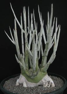 Adenia pechuelii