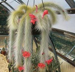 Cleistocactus winteri subs. colademononis