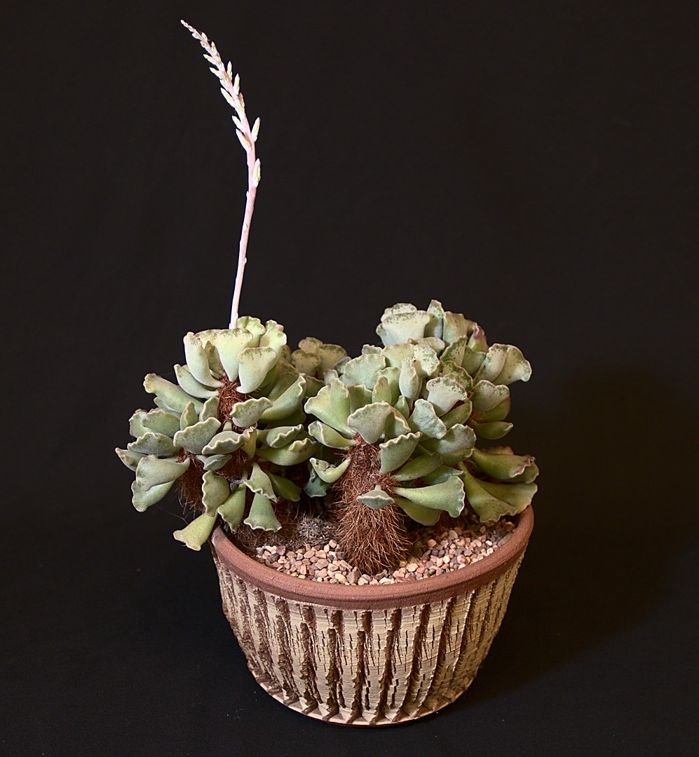SCCSS 2019 October - Winner Intermediate Succulent - Sally Fasteau - Adromischus cristatus